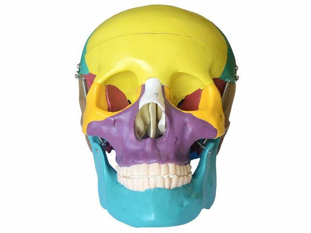 Crânio Colorido em 3 Partes - TGD-0102-A - Anatomic