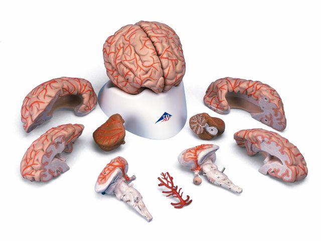 Cérebro com Artérias - em 9 Partes - C20 - 3B Scientific