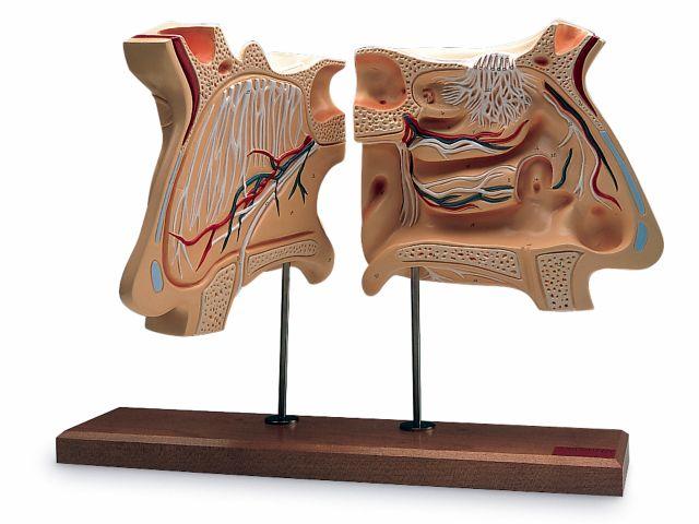 Nariz e Órgão Olfativo Ampliado em 4 Vezes - W42506 - 3B Scientific