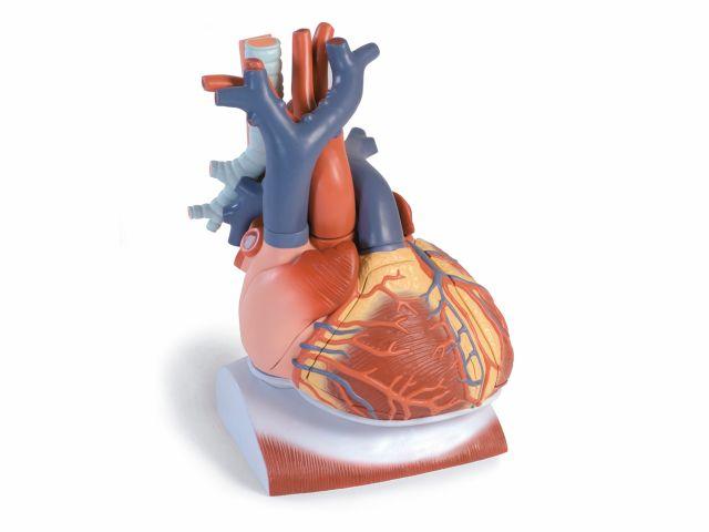 Coração com Diafragma - Ampliado em 3x - em 10 Partes - VD251 - 3B Scientific