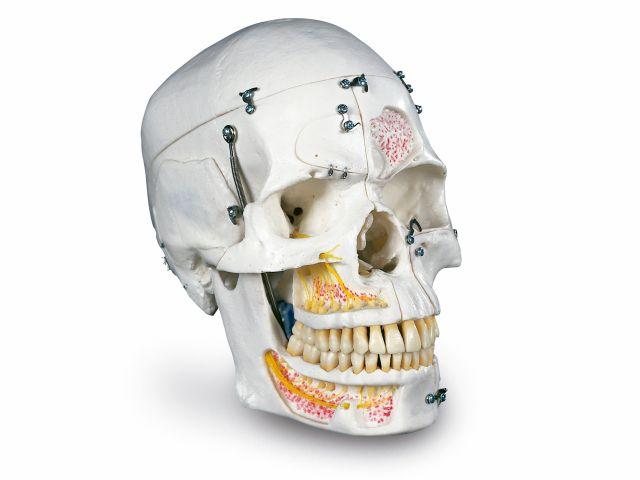 Crânio de Luxo - em 10 Partes - A27 - 3B Scientific