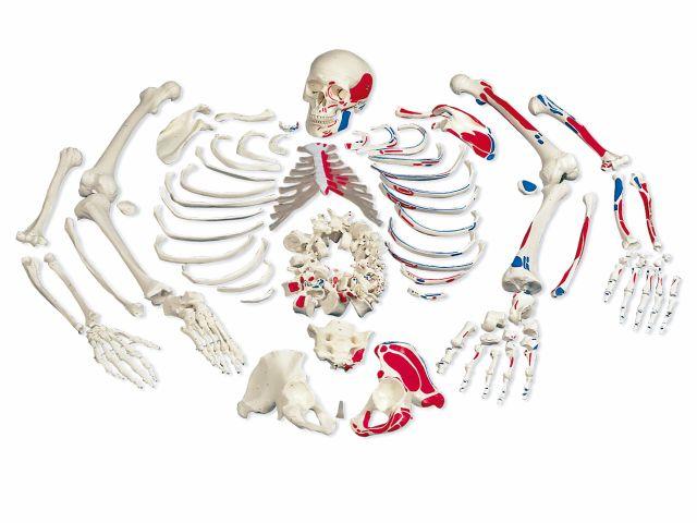 Esqueleto Completo Desarticulado e Pintado - A05/2 - 3B Scientific