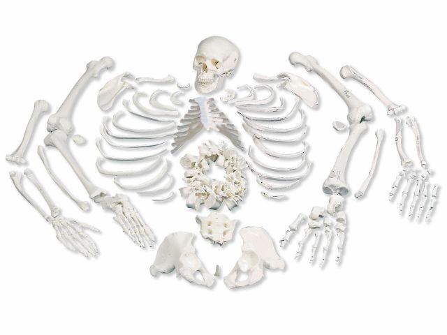 Esqueleto Completo - Desarticulado - A05/1 - 3B Scientific