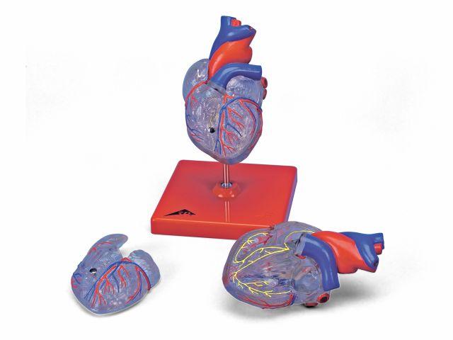 Coração Clássico - com Sistema Condutor - em 2 Partes - G08/3 - 3B Scientific