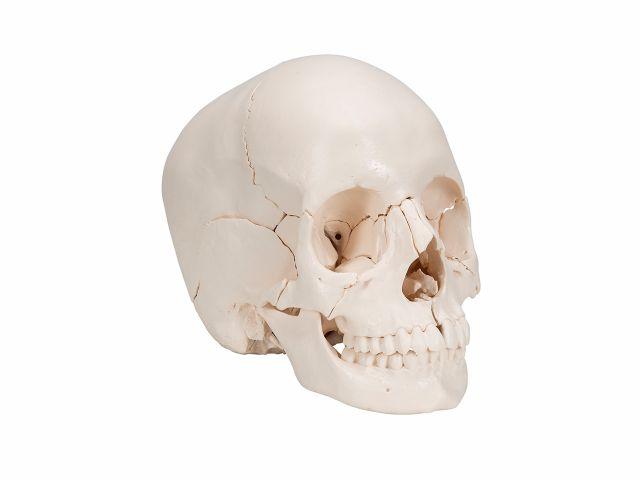 Crânio de Encaixe - em 22 Partes - A290 - 3B Scientific