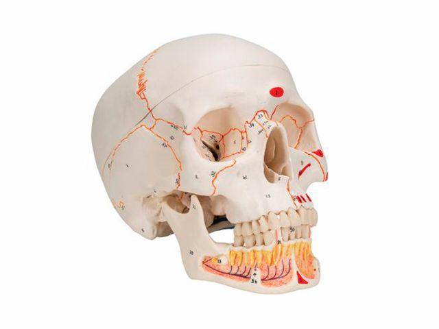 Crânio Clássico - com Mandíbula Aberta - em 3 Partes - A22 - 3B Scientific