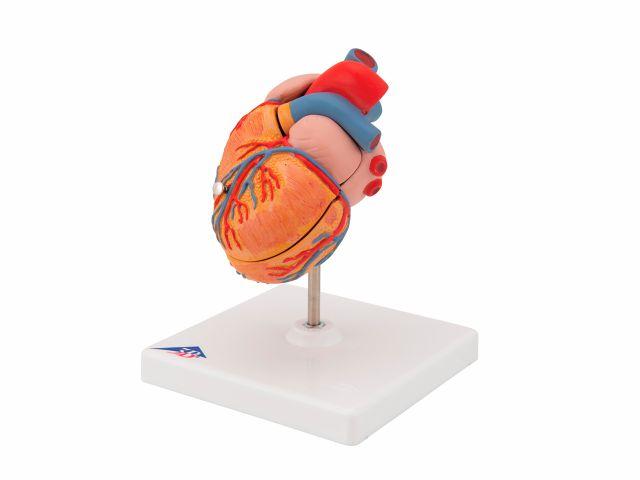 Coração Clássico com Hipertrofia Ventricular - em 2 Partes - G04 - 3B Scientific