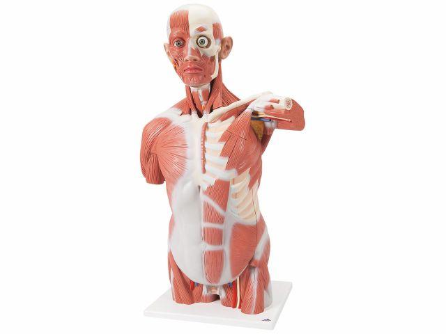 Torso Muscular - Tamanho Natural - em 27 Partes - VA16 - 3B Scientific