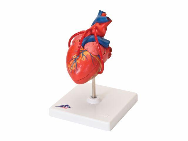 Coração Clássico - com Pontagem Coronária - em 2 Partes - G05 - 3B Scientific