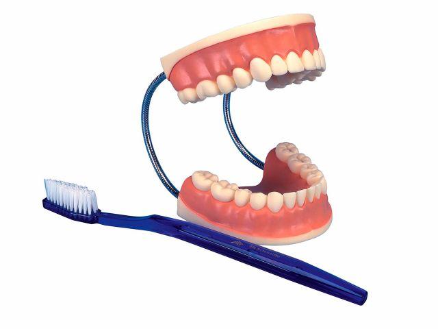 Modelo Gigante - Higiene Dental - 3x o Tamanho Natural - 3B Scientific