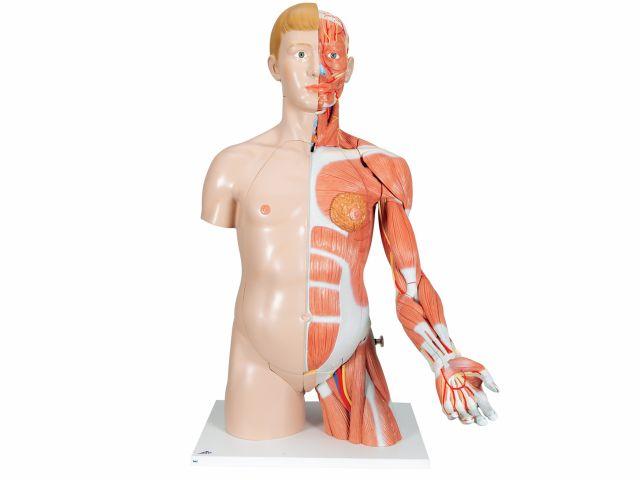 Torso de Luxo - com Braço Muscular - em 33 Partes - B42 - 3B Scientific