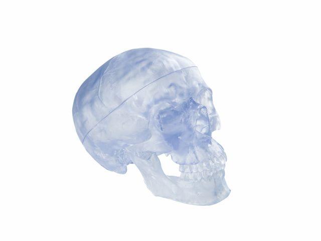 Crânio Transparente - A20/T - 3B Scientific
