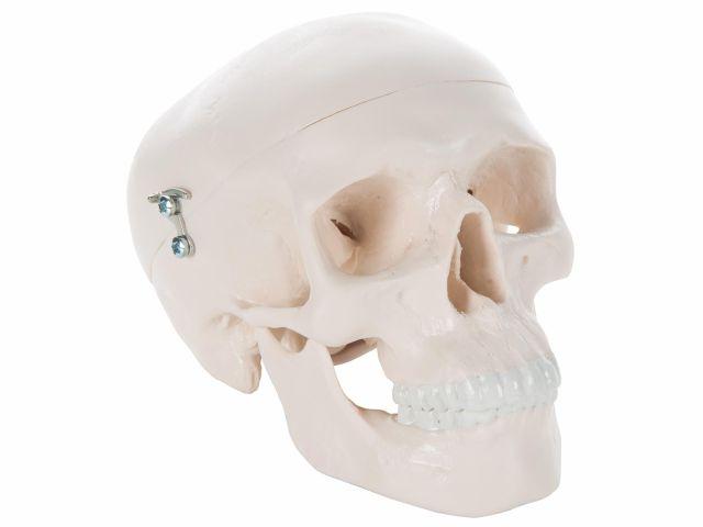 Mini Crânio - em 3 Partes - 3B Scientific