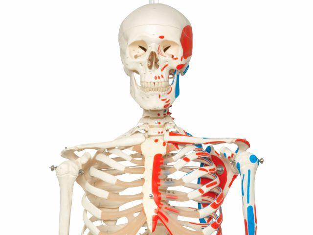 Esqueleto Max - com Apresentação dos Músculos e Suporte - A11/1 - 3B Scientific