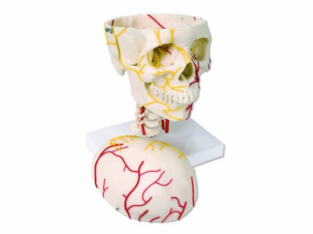 Crânio Neurovascular - W19018 - 3B Scientific