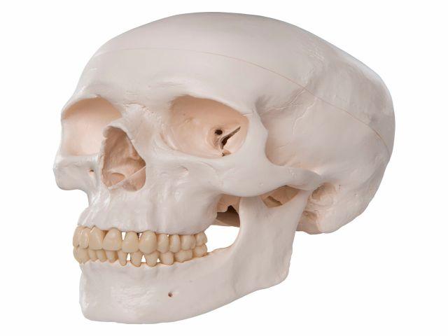 Crânio Clássico - em 3 Peças - A20 - 3B Scientific