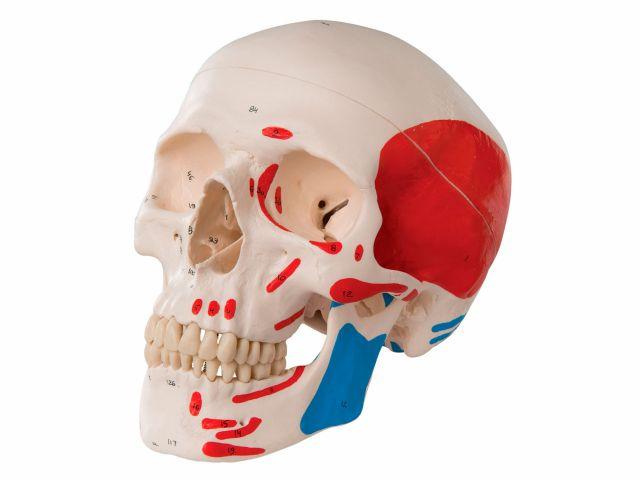 Crânio Clássico - Colorido - A23 - 3B Scientific