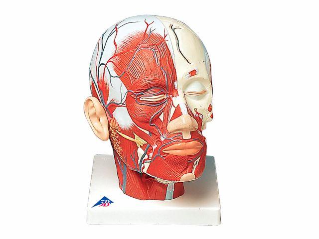 Musculatura da Cabeça - com Vasos Sanguíneos - VB128 - 3B Scientific