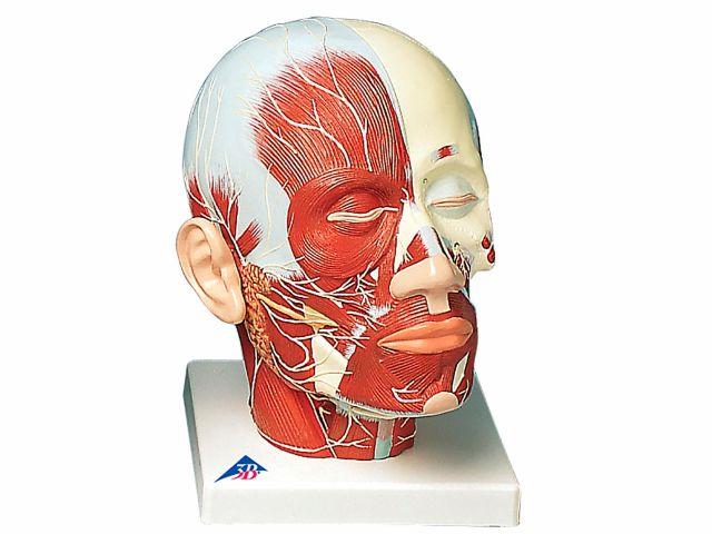 Musculatura da Cabeça - com Adição de Nervos - VB129 - 3B Scientific