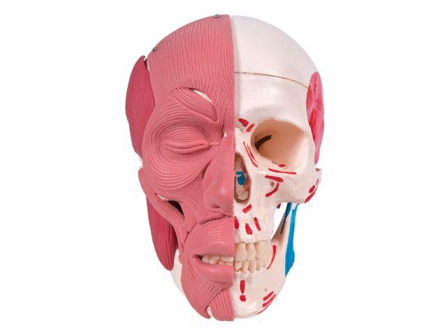 Crânio com Músculos Faciais - A300 - 3B Scientific