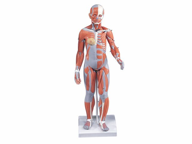 Figura Muscular Feminina em 21 Partes - B56 - 3B Scientific