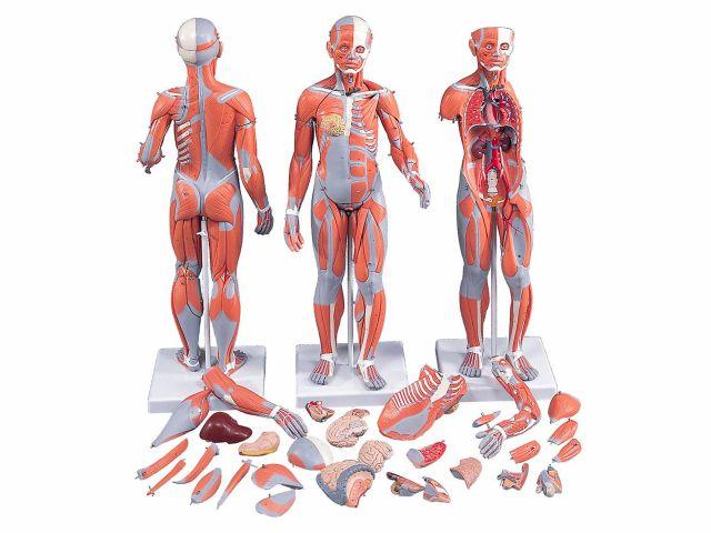 Figura Muscular em 33 Partes - Masculina e Feminina com Órgãos Internos - B55 - 3B Scientific