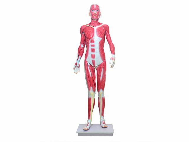 Modelo Muscular Assexuado - 170cm - 33 Partes - TGD-4000 - Anatomic