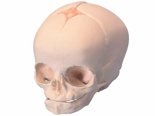 Crânio de Feto - sem Suporte - A25 - 3B Scientific