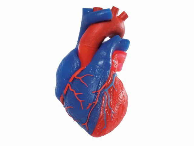 Coração Magnético - em 5 Partes - G01/1 - 3B Scientific