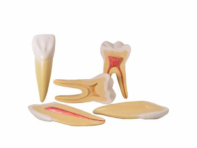 Dentes Ampliados - Canino, Incisivo e Molar - em 5 Partes - TGD-0311-A - Anatomic
