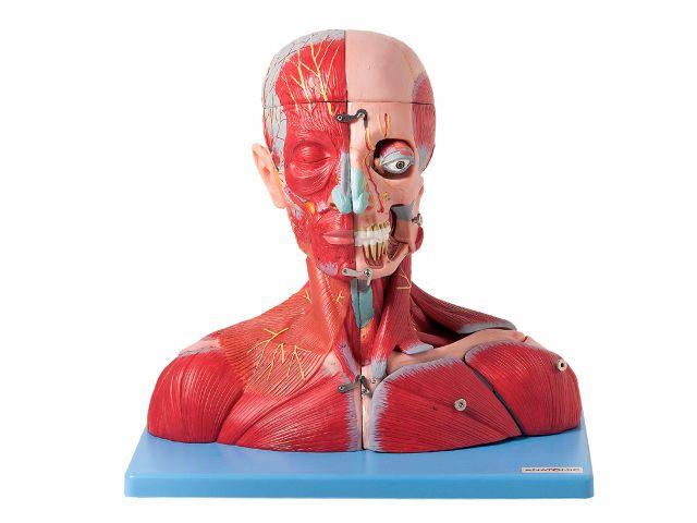 Cabeça e Pescoço Muscular, com Vasos, Nervos e Cérebro - com 19 partes - TZJ-4006-A - Anatomic