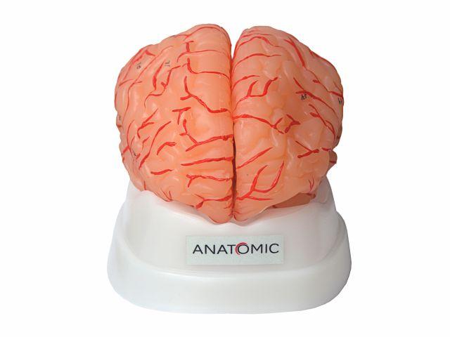 Cérebro com Artérias em 9 Partes - TZJ-0303-A - Anatomic