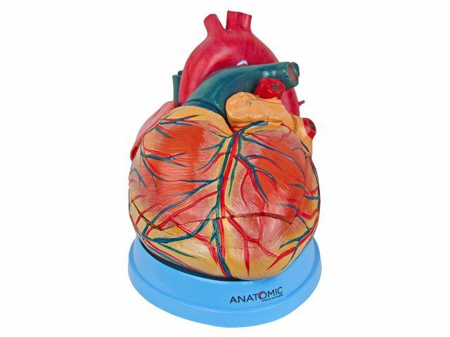 Coração Ampliado Dividido - em 3 Partes - TZJ-0321-B - Anatomic