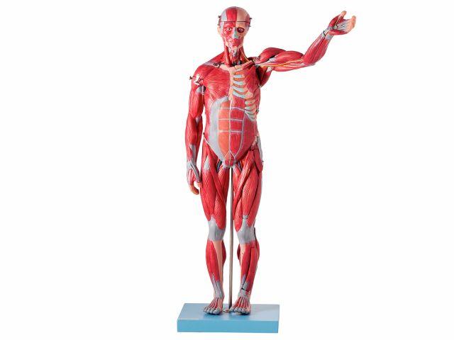 Modelo Muscular Assexuado em 27 Partes - TZJ-4000-B - Anatomic