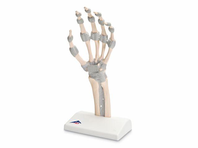 Esqueleto da Mão - com Ligamentos Elásticos - M36 - 3B Scientific