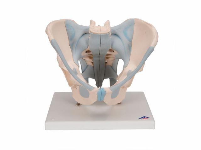 Esqueleto Pélvico Masculino com Ligamentos em 2 Partes - H21/2 - 3B Scientific